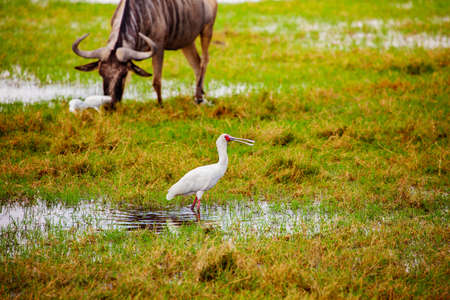 Yellow-billed stork Ibis birds also called the wood storks with wild beast on background in Kenyan natural environment Reklamní fotografie