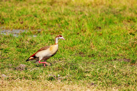 Alopochen aegyptiaca or Egyptian Goose in Kenya in natural environment of reservation park Reklamní fotografie