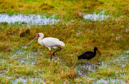 Yellow-billed stork Ibis birds also called the wood storks is a large African wading species in the family Ciconiidae