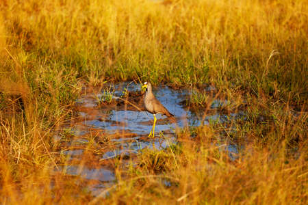 The African Wattled Lapwing or Senegal Plover, Vanellus senegallus large bird of the family Charadriidae in Kenya