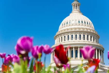 Dome of Capital Building east facade through color tulips, Washington DC United States