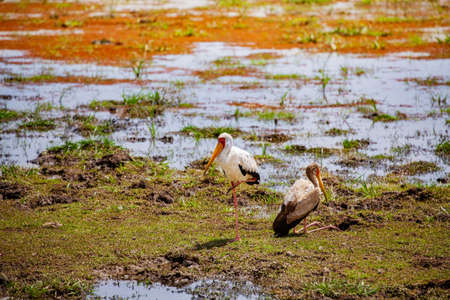 Two Yellow-billed stork Ibis birds also called the wood storks is a large African wading species in the family Ciconiidae