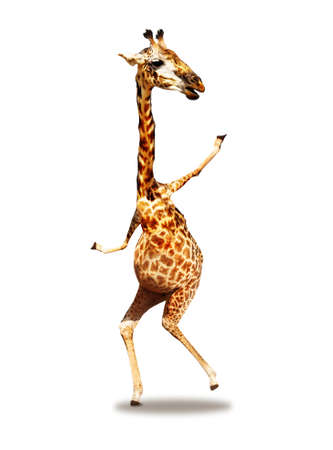 Dancing photo of giraffe mixed media concept happy expression isolated on white