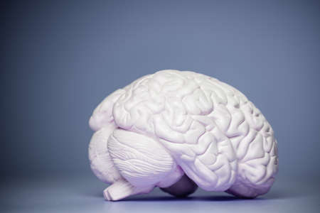 Photo of the human brain model view from side