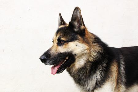 german: German shepherd dog