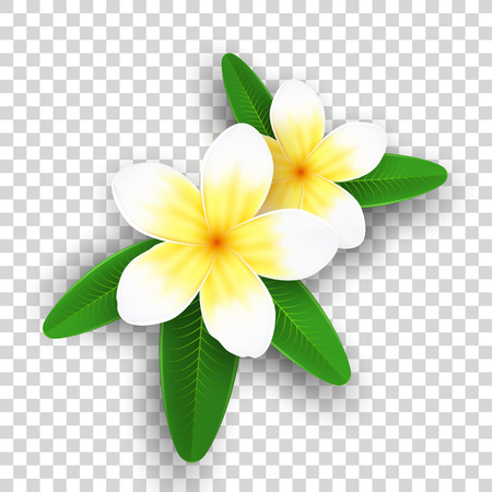 Plumeria flowers isolated on transparent background. Realistic tropical flowers. Set of plants. Summer collection. Realistic graphic elements for your design. Vector illustration. EPS 10.