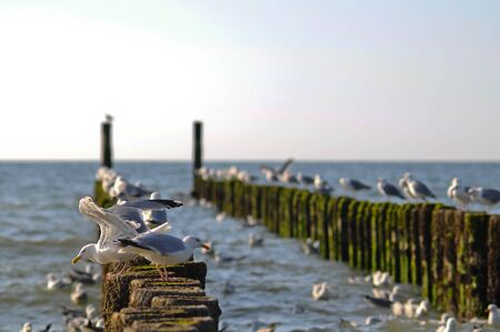 cleared: Seagulls feeding from the piers that are cleared after evening tide in Zeeland region of Netherlands