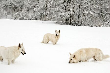 beatrix: Wintershot with domestic wolves playing in the snow in Beatrix Park Netherlands