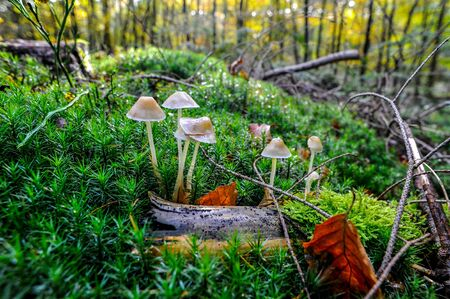 mosses: Early autumn scenery with white mushrooms grown inbetween the mosses , from a forest in Netherlands