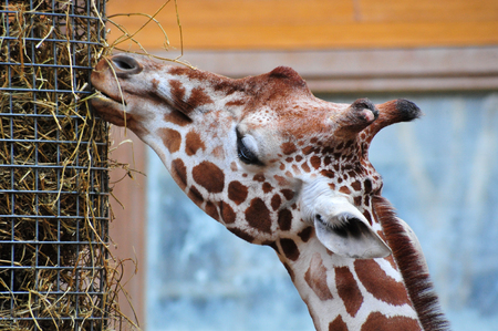 somali giraffe: An African Giraffe is feeding from the straw bucket in the zoo Stock Photo