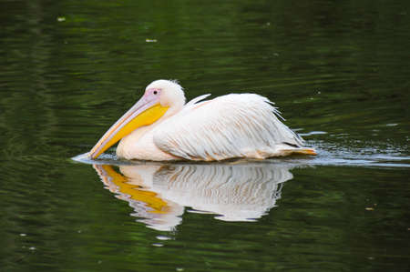 A White Eruopean Pelican swimming in a lake in Netherlands