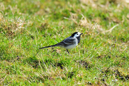 An European Pied Wagtail singing in a meadow.