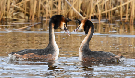 European grebe birds in a courtship dance 免版税图像