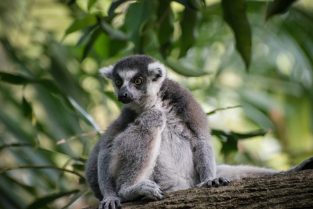 Attentive catta sits alone on the tree and saw something exciting. Cunning lemur on the nature background