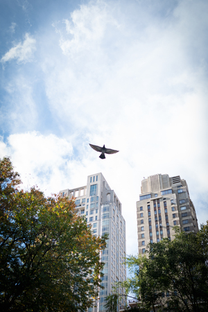 Small bird flying on background of green trees, blue sky and skyscrapers in Central Park, New York, USA.