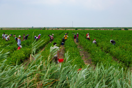 seasonal agricultural workers in field. Banco de Imagens