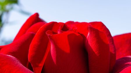 Red rose petals. Macro and close up flower Banque d'images - 133513845