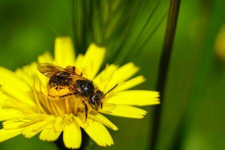 Honey bee collecting pollen and nectar from Dandelion flower (Taraxacum). Natural green background. Foto de archivo - 133513908