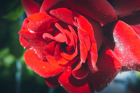 Beautiful red rose isolated with dew drops on green natural background Banque d'images - 133513918