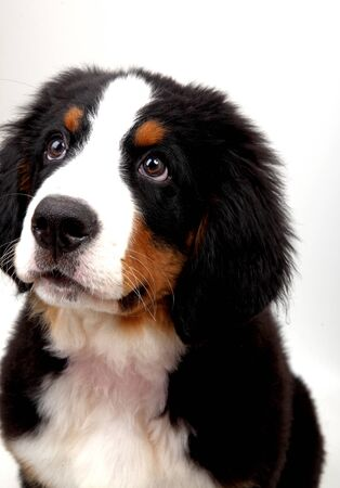 bernese: A puppy Bernese mountain dog