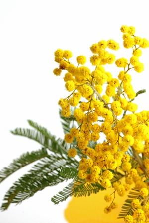 mimose: mimosa sul bianco