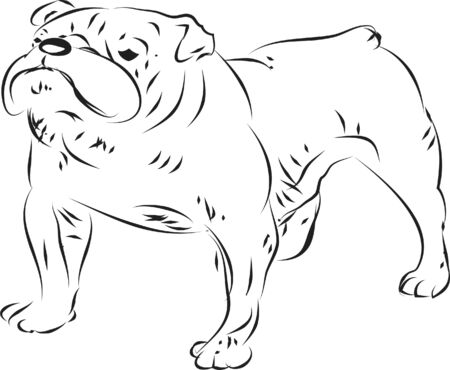 A bulldog on the white Stock Vector - 17380283