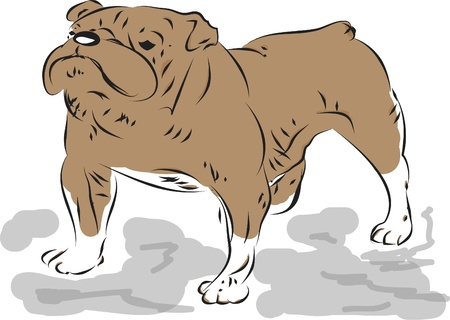 A bulldog on the white Stock Vector - 17380282