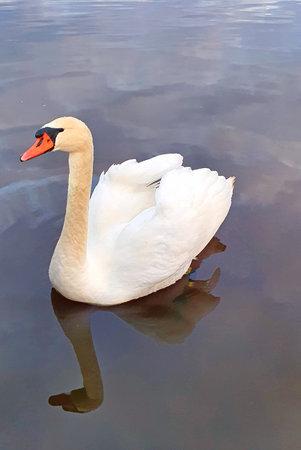 a white swan on the lake Stock Photo