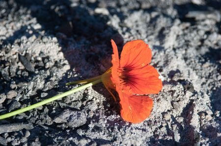 ashes: red flower from the ashes