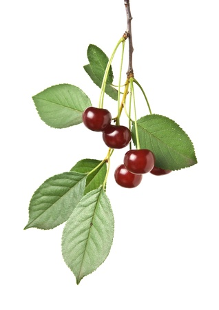 branch with berries cherry  isolated on white background Stock Photo