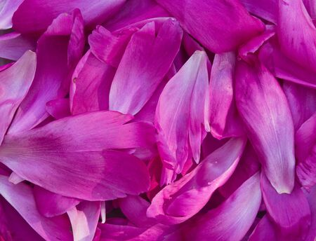 pion: background from the pile of the petals of a pion Stock Photo