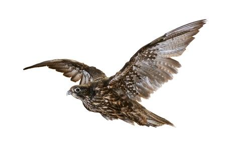ファルコン: 白い背景上に分離されて飛ぶ鷹 写真素材