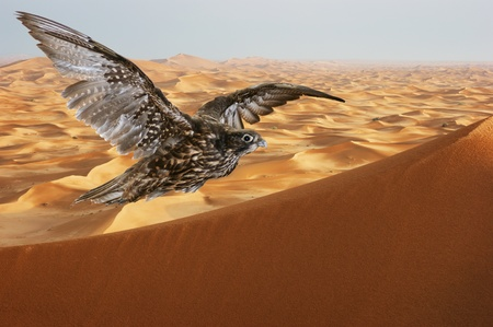 arabia: falcon soaring over sand dunes in the Arabian desert at sunset