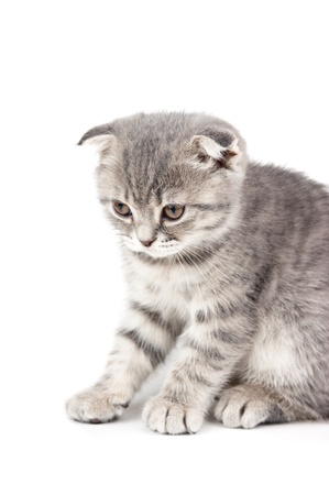 British kitten isolated on white background  photo