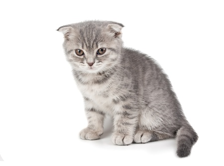 British kitten isolated on white background Stock Photo - 11987148