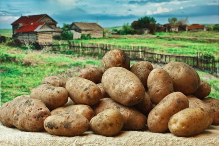 bunch of potatoes on the background of rural areas photo