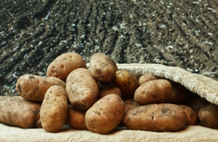 bunch of potatoes on the background of agricultural lands Stock Photo