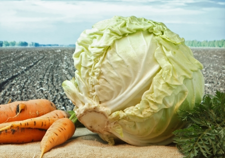 carrots and cabbage  on the background of agricultural lands photo