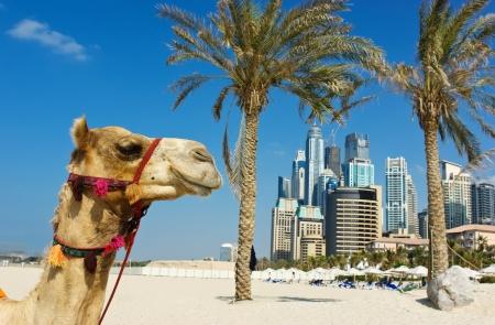 Kameel op de stedelijke gebouw achtergrond van Dubai UAE