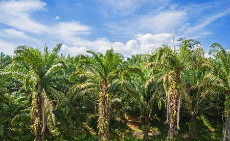 palm forest in Phuket Thailand photo