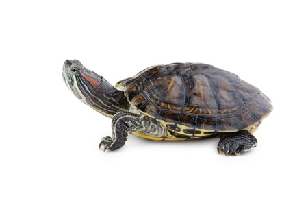 water turtle: red ear turtle  isolated on white background