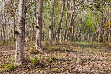 Rubber tree plantation on the island of Phuket, Thailand photo