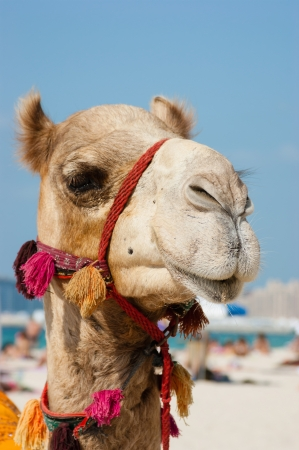 Head of a camel on a background of blue sky photo