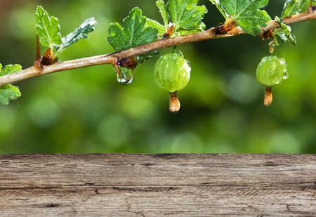 gooseberry bush: Old wooden table in the garden with gooseberries Stock Photo