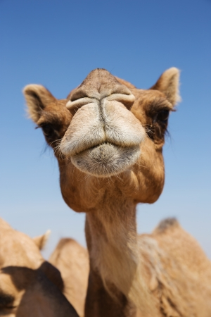 camels: Head of a camel on a background of blue sky
