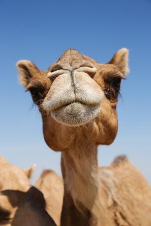 Hoofd van een kameel op een achtergrond van blauwe hemel