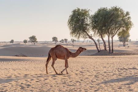 kamelen in de woestijn Stockfoto