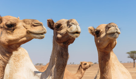 camels in the desert photo