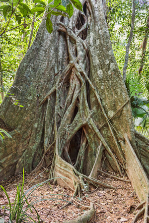 east asia: big tree roots tropical jungles of South East Asia