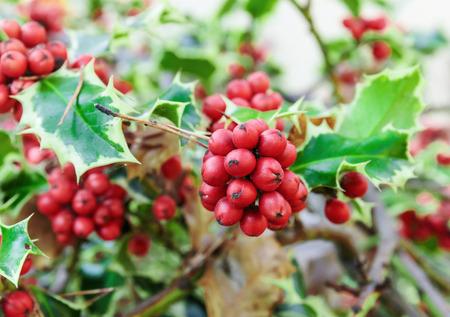 ilex aquifolium holly: Holly branches with fruits (Ilex aquifolium) Stock Photo